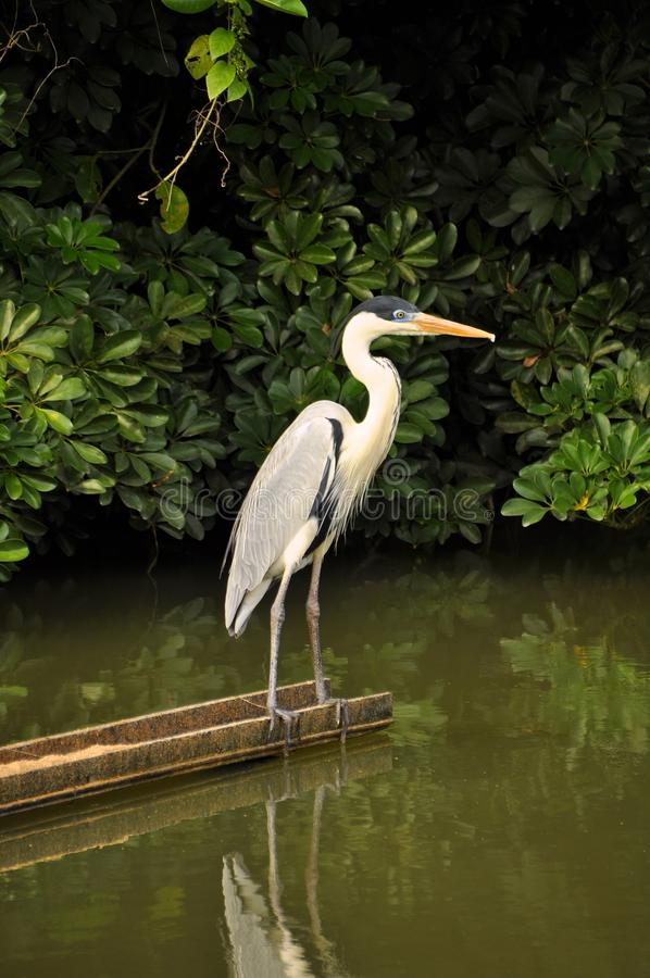 Moura häger i skogen som ser mangroven royaltyfri fotografi
