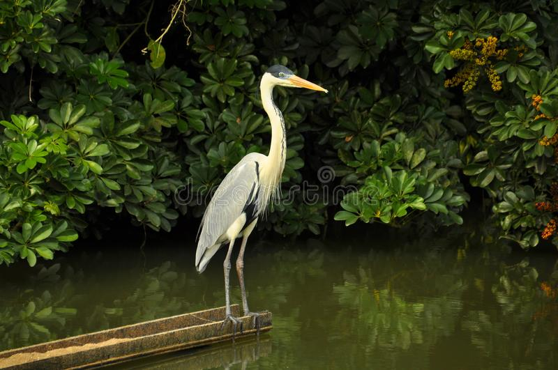 Moura heron in the forest looking at the mangrove royalty free stock image