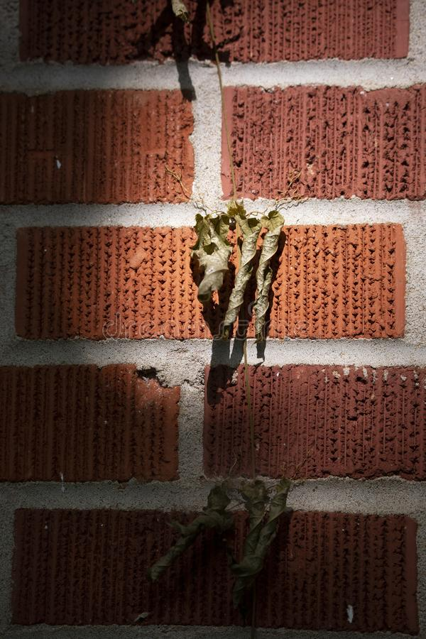 Mourir sur un mur de briques rouges image libre de droits