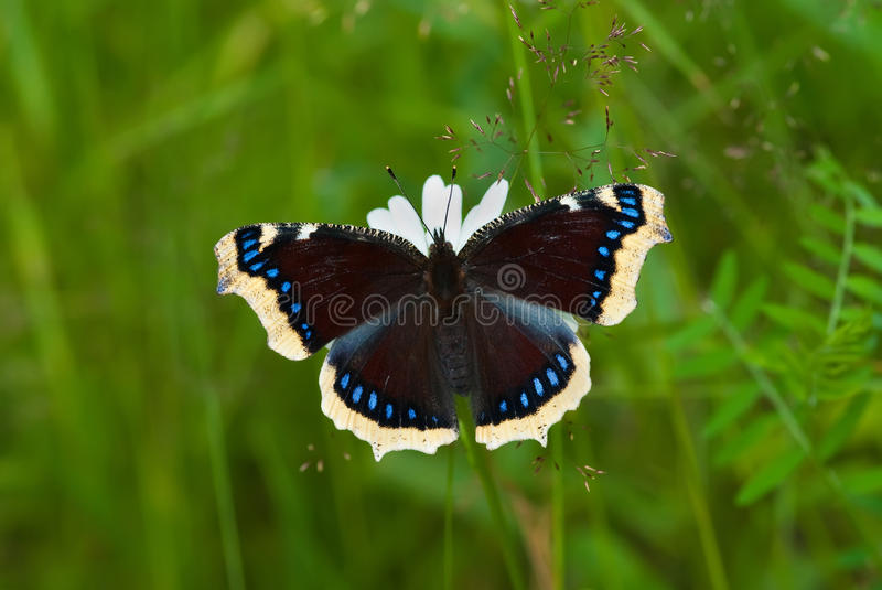Mourning-cloak Butterfly royalty free stock image