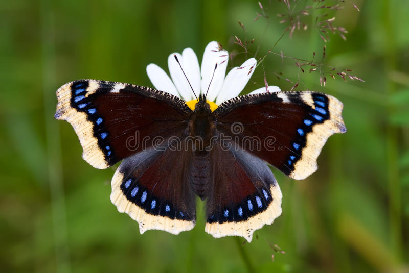 Mourning-cloak Butterfly royalty free stock photo