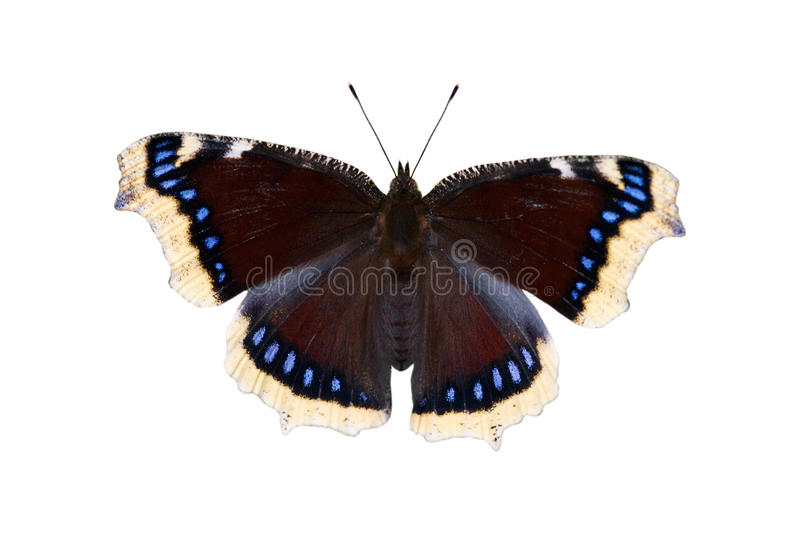 The mourning-cloak butterfly royalty free stock photos