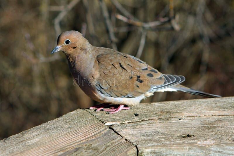 Download Mourning Dove stock image. Image of flight, beak, background - 12221155