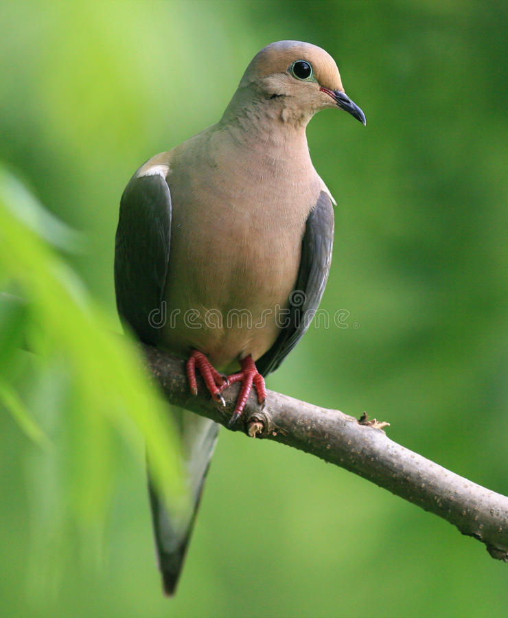 Download Mourning dove stock image. Image of feather, beak, limb - 15788435