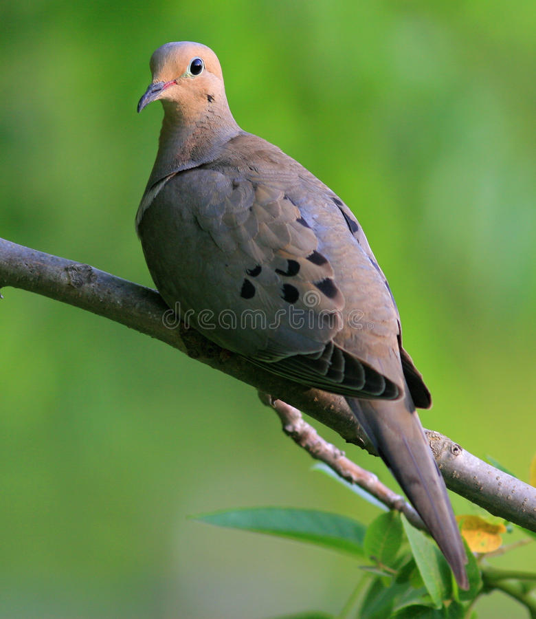 Free Mourning Dove Stock Photography - 15788442