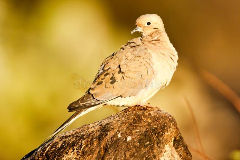 Download Mourning Dove stock image. Image of sitting, macroura - 19247115