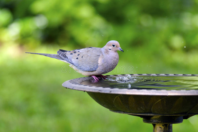 Download Mourning Dove stock image. Image of nature, sitting, zenaida - 20146269
