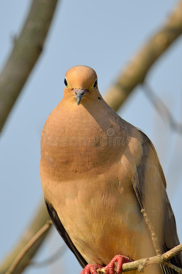 Download Mourning Dove stock photo. Image of branch, dove, brown - 20380880
