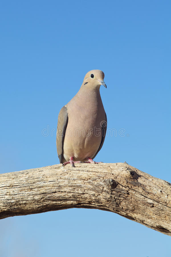 Download Mourning Dove stock photo. Image of avian, bird, nature - 29678094