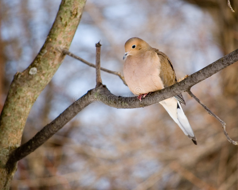 Download Mourning Dove Stock Image - Image: 7604961