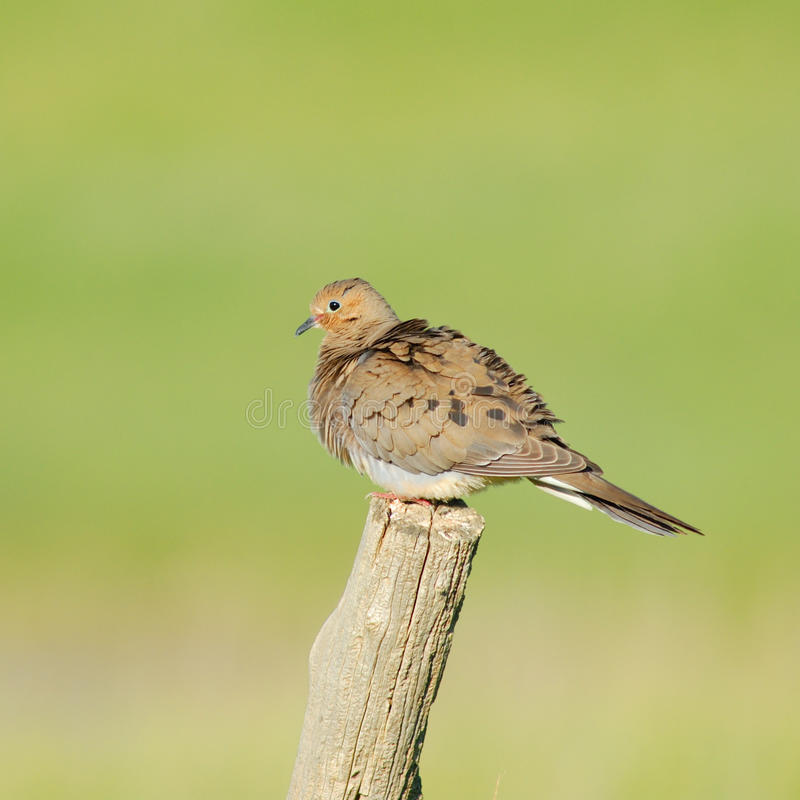 Free Mourning Dove Royalty Free Stock Images - 9739109