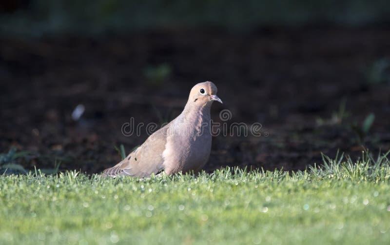Mourning Dove bird, Clarke County GA USA royalty free stock photo