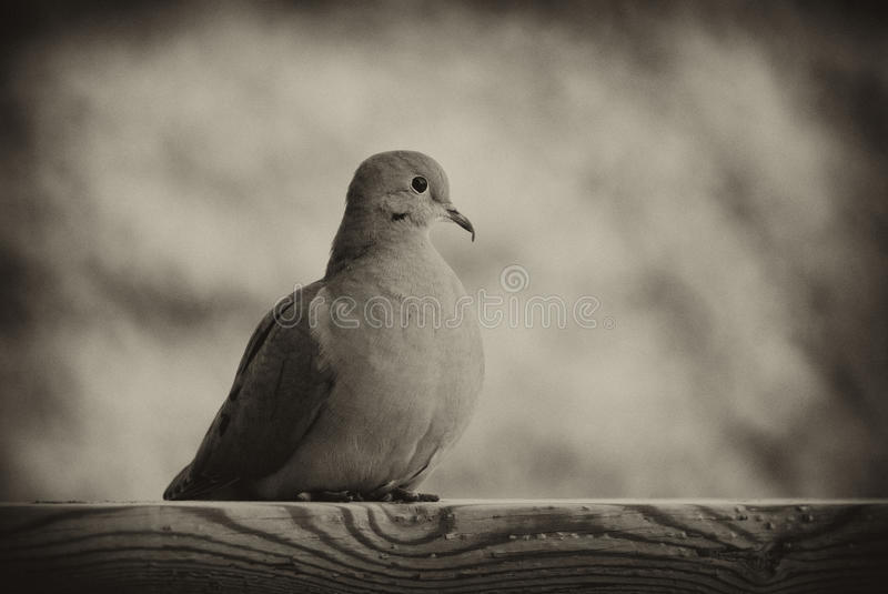 Download Mourning Dove In Black And White Stock Image - Image of standing, space: 14023839