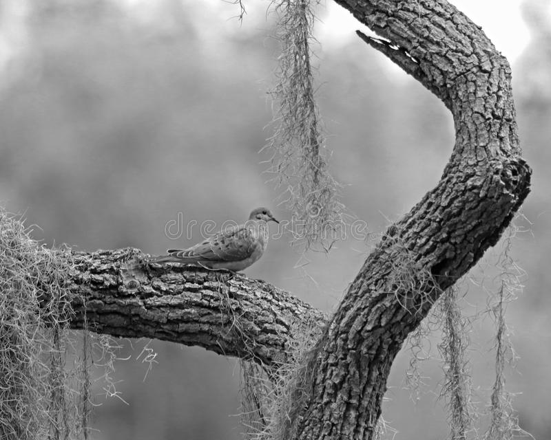 Mourning dove black and white. Mourning dove on a unique tree branch surrounded by dangling Spanish moss royalty free stock photo
