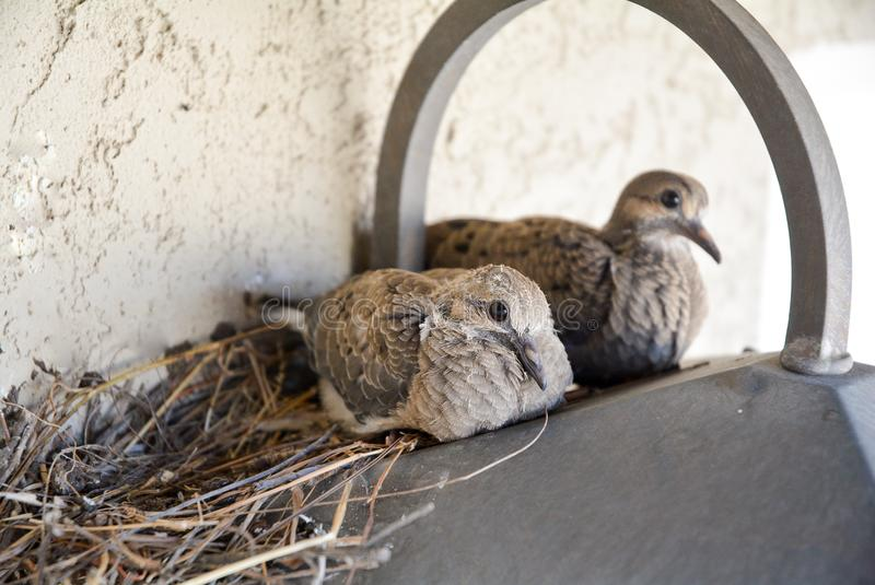 Mourning Dove Chicks on a Light royalty free stock photos