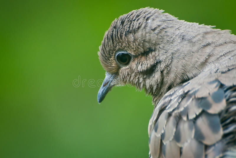 Download Mourning Dove Contemplating Life Stock Image - Image: 21801703