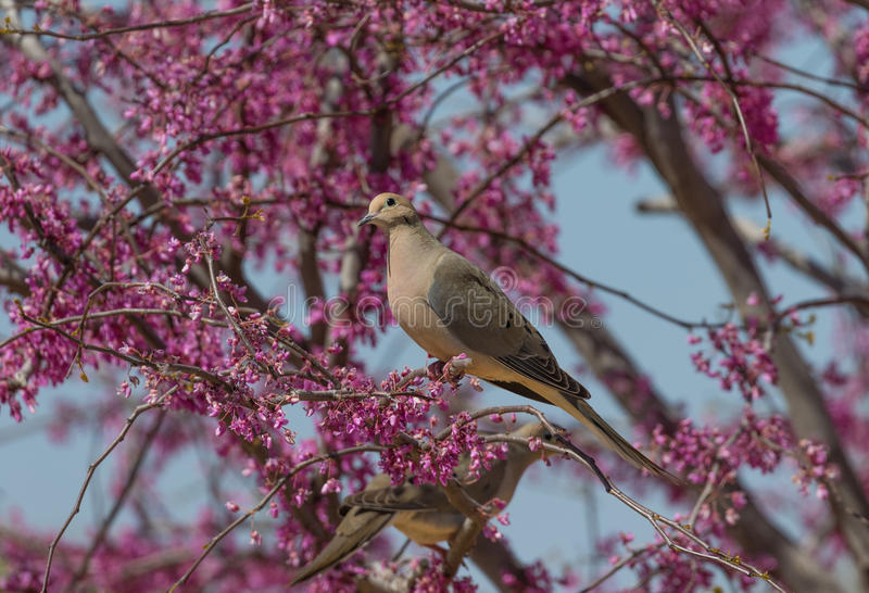 Mourning Dove in flowering tree stock image