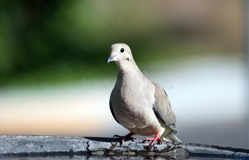 Mourning Dove II Stock Photos