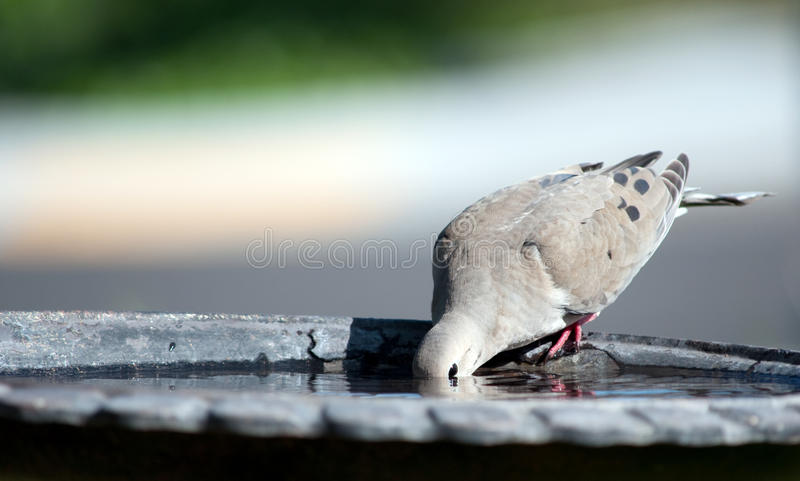 Download Mourning Dove III stock photo. Image of outside, perched - 36740182