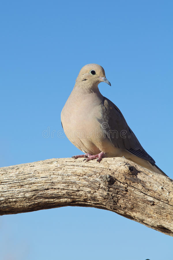 Mourning Dove On Log Stock Photos