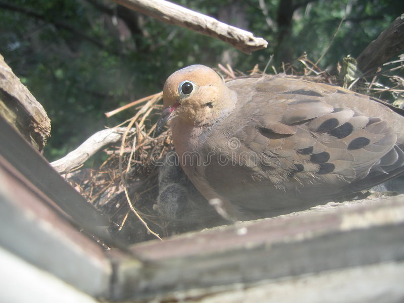 Download Mourning dove on nest stock image. Image of columbidae - 1048405