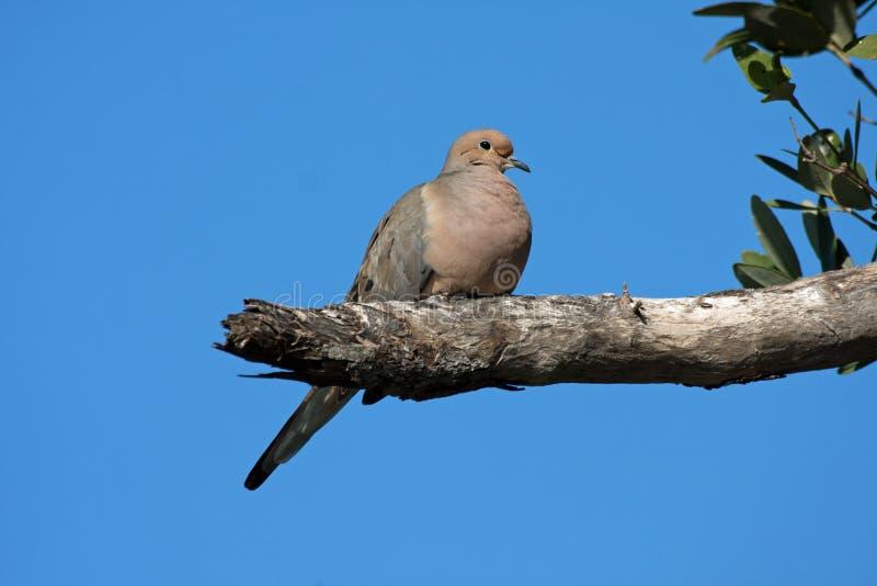 Mourning Dove on Sanibel Island, Flórida imagem de stock