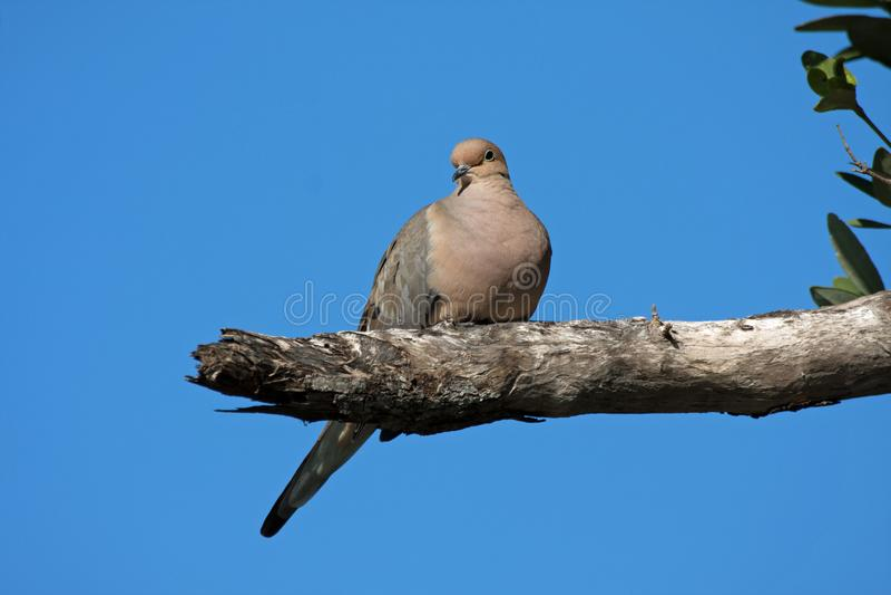 Mourning Dove on Sanibel Island, Flórida imagens de stock