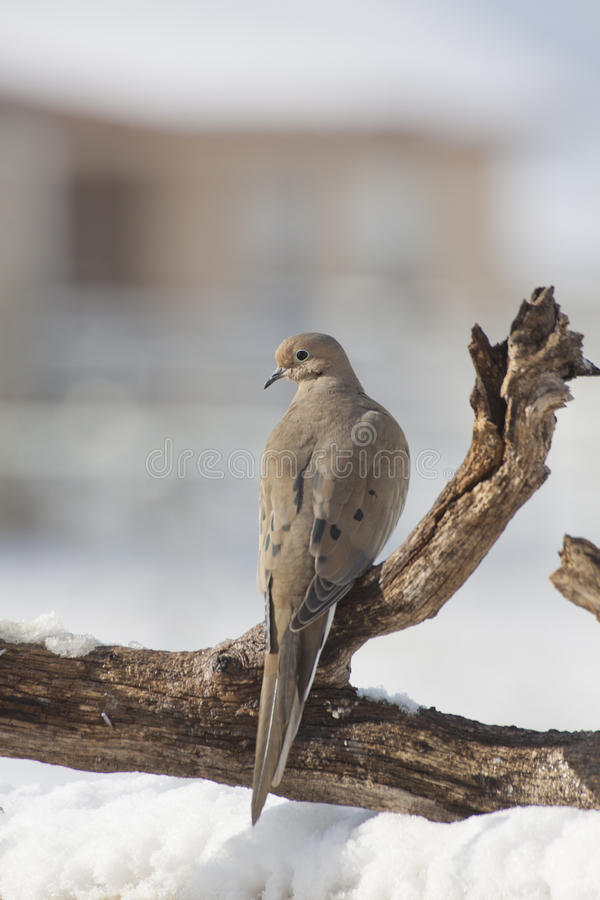 Mourning Dove In Winter Royalty Free Stock Photo