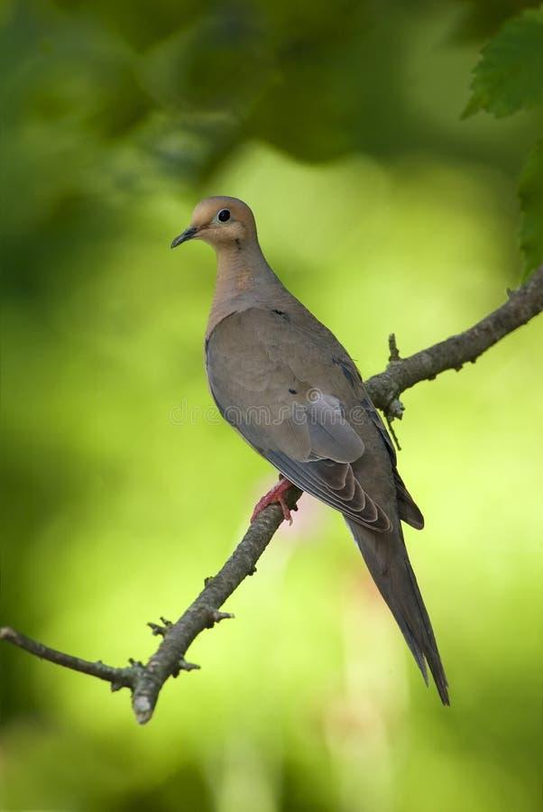 Free Mourning Dove (Zenaida Macroura) Stock Photos - 22460923