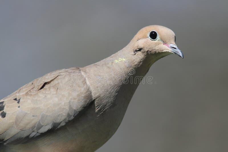 Download Mourning Dove (Zenaida Macroura) Stock Images - Image: 25339954