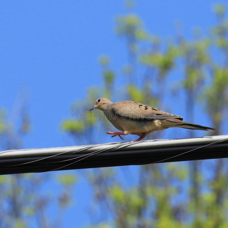 Mourning dove Zenaida macroura bird walking on utility line. Northern New Jersey spring May 2019 stock image