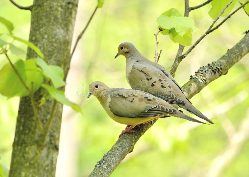 Download Mourning doves stock image. Image of bird, song, nature - 24853205