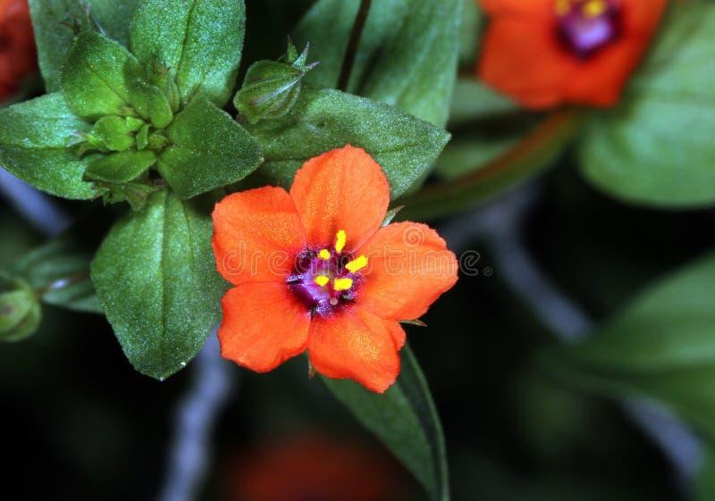Mouron d'écarlate et x28 ; Arvensis d'Anagallis ; également connu en tant que mouron rouge photo libre de droits