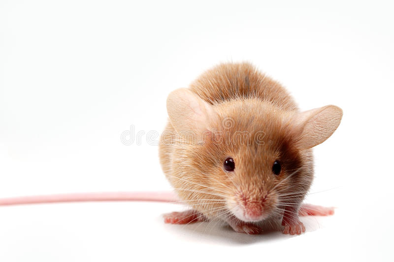Mouse. Sweety brown baby mouse ,isolated on white background stock photography