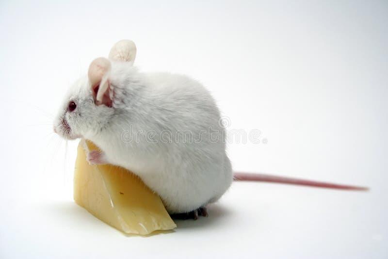 Mouse fotografie stock libere da diritti