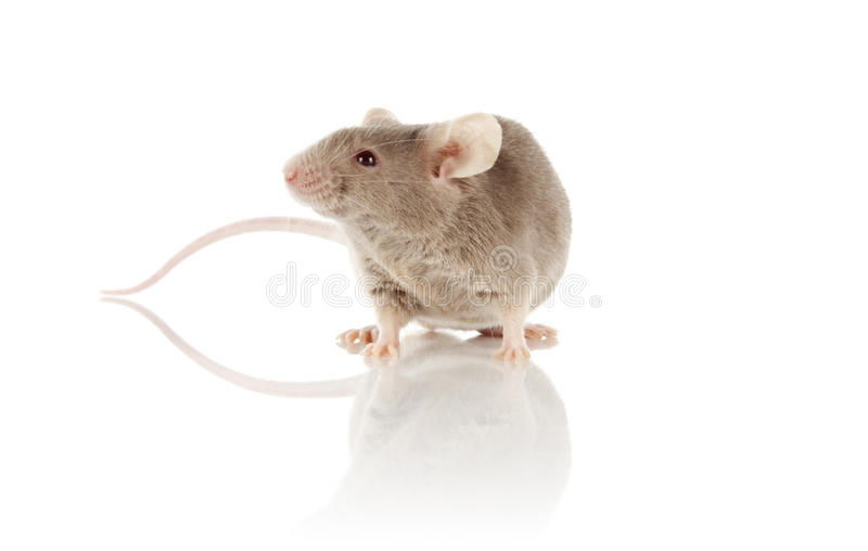 Download Mouse stock photo. Image of small, albino, grey, cheese - 24134328