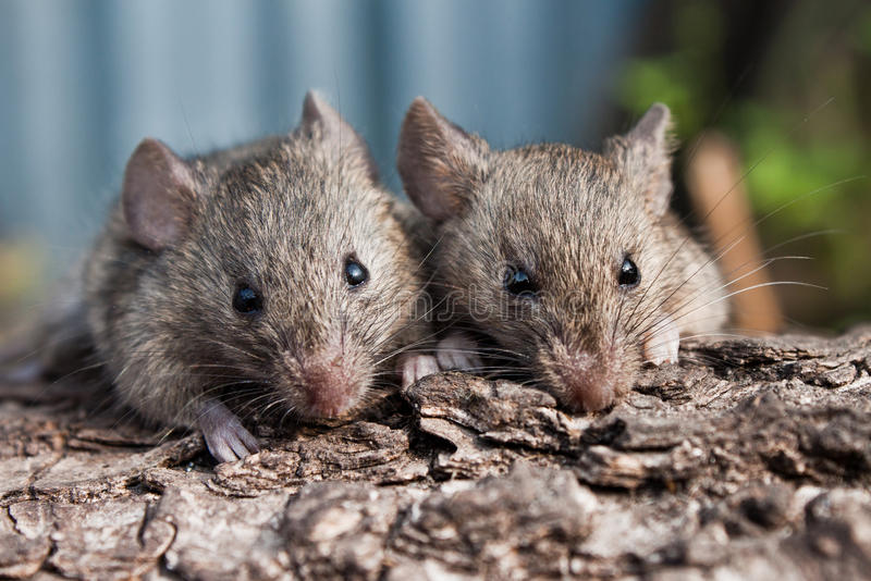 Download Mouse stock photo. Image of mice, brown, form, fluffy - 27477658