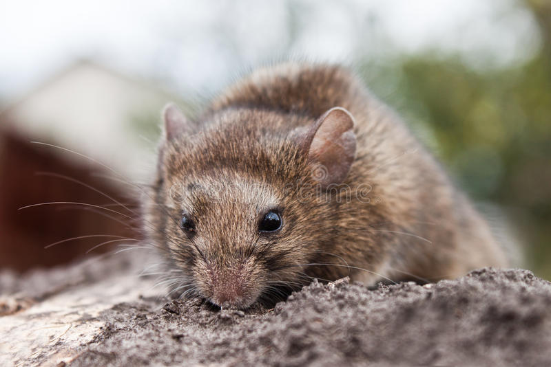 Download Mouse stock photo. Image of mouse, animal, muridae, menace - 27477958