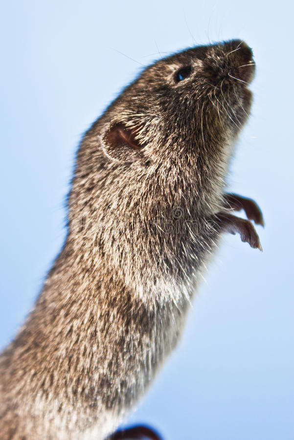 Download Mouse stock image. Image of looking, closeup, listening - 27518433