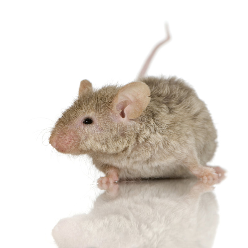 Mouse. In front of a white background royalty free stock images