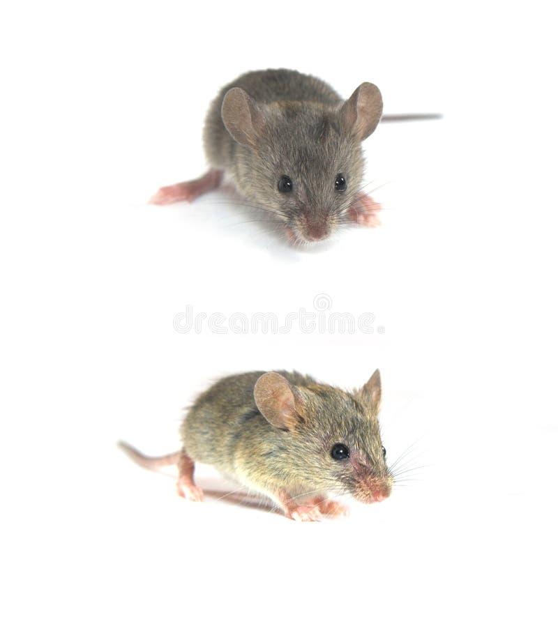 Mouse fotografia stock
