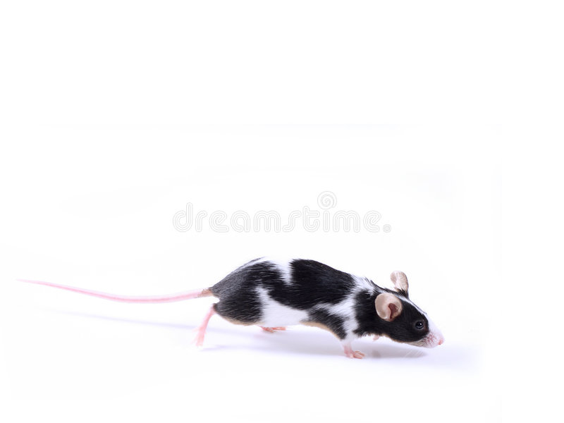 Mouse fotografie stock