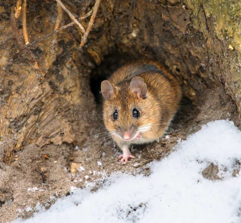 Download Mouse stock image. Image of snow, russia, wildlife, safari - 4101969