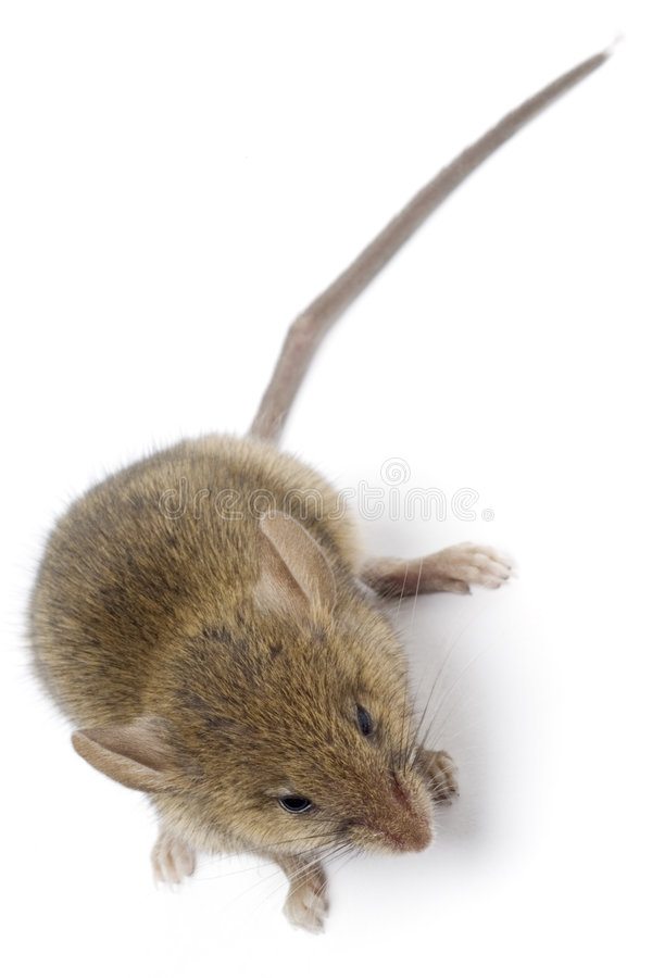 Download Mouse stock image. Image of whiskers, snout, vermin, isolated - 6478429