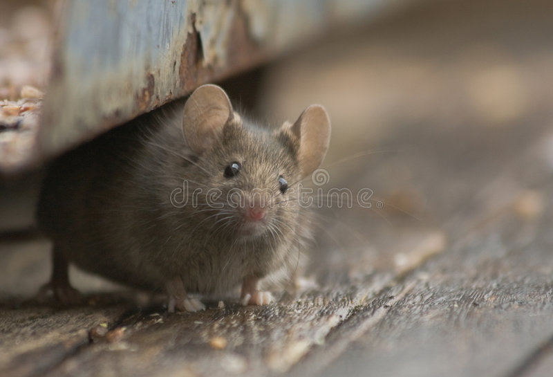 Download Mouse stock image. Image of outside, curiuos, unwanted - 8686157