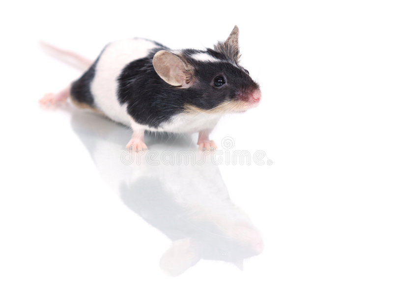 Download Mouse stock image. Image of gerbil, listen, animal, domestic - 895459