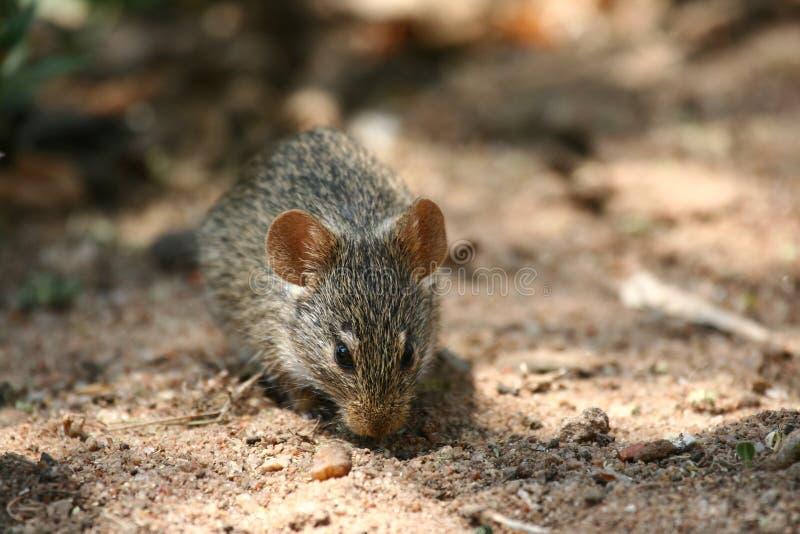 Download Mouse stock photo. Image of tarangire, serengeti, dust - 8965036