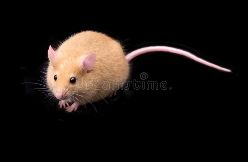 Mouse on Black Background royalty free stock photo