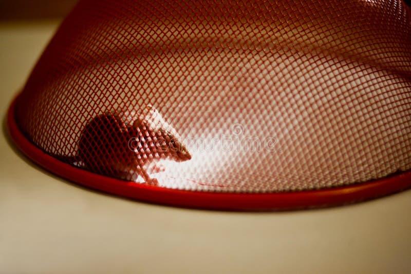 Mouse bloccato nel paese fotografie stock