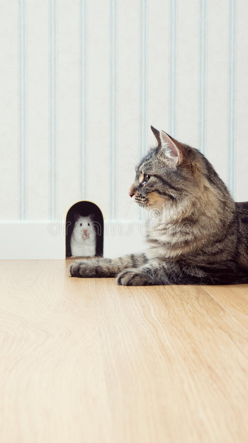 Mouse and cat. Mouse peeking out his hole on the wall with beautiful cat waiting outside royalty free stock images